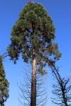 mammoetboom of reuzensequoia