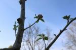 Bernardusappel bloem