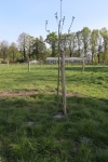 Bernardusappelboom