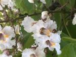 bloem van trompetboom.JPG